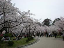内濠沿いの桜