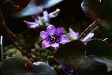 雪割草の達人の雪割草の育て方ブログ-紫 雪割草