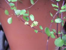 ワイア-プランツの花