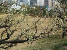 藤田邸の梅