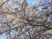 桜_2008