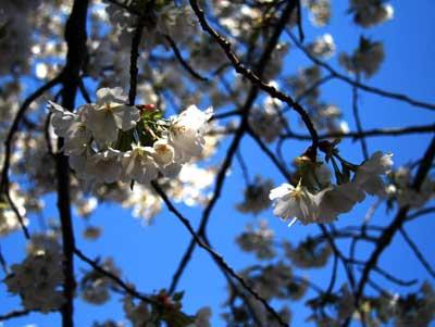 2008桜サクラ