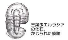 齧られた三葉虫の化石
