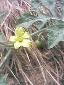 スイカの花と実