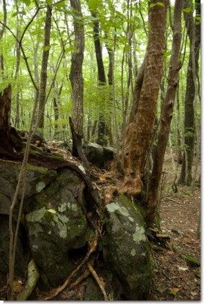 岩から生える木