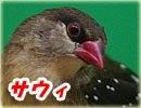 紅雀ーサウィ