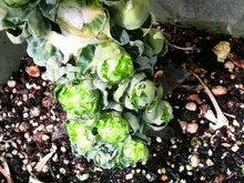 ベランダ菜園 わっぴぃ畑 + いつかときどきタイランド-2009022212370000.jpg