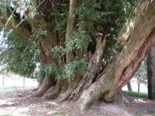 榧の木4 幹回り