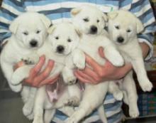 白犬たち-シロ