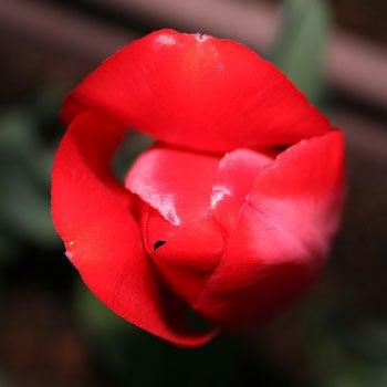 赤チューリップ