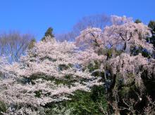 三春のしだれ桜