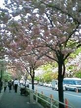 麹町・八重桜