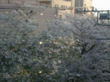 PLATINOからの桜