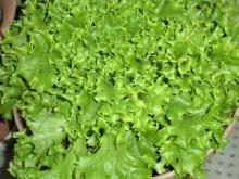 ベランダで作ろう!おいしい野菜-214フリル