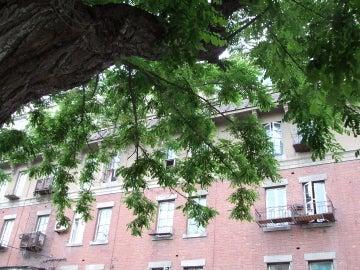 アカシア木
