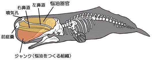 マッコウクジラの骨格と悩油