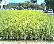 唐津の田んぼ
