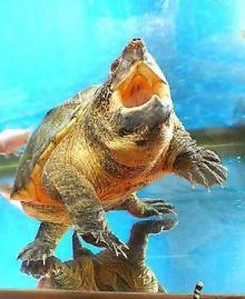 サルヴィンオオニオイガメ専科~ブログ~-我が家の一番の古株、サリーのベストショット