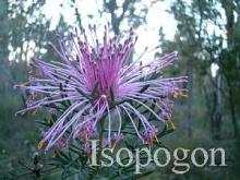 Isopogon