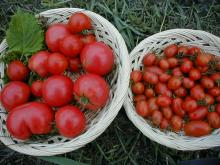 あいこ&あきこトマト