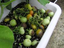 尻ぐされ病のトマト