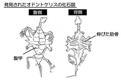 オドントケリスの化石図