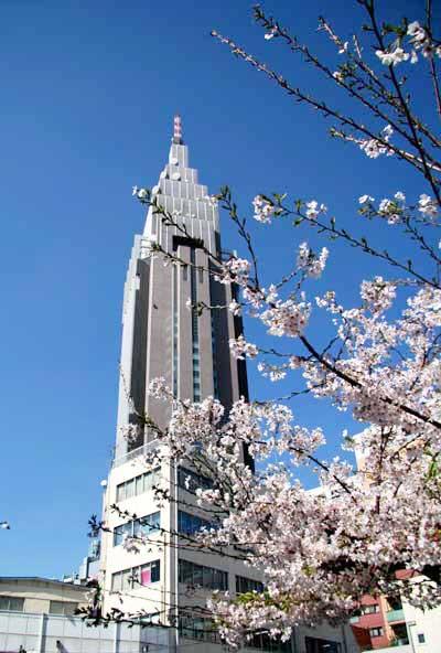 路地裏の桜