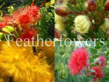 Featheflower
