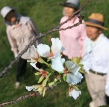 9月に咲いた桜の花